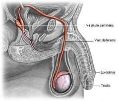 Jalur Reproduksi Sperma